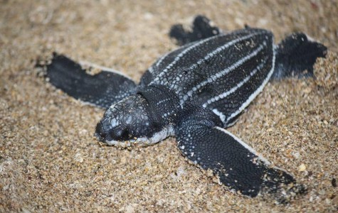 Night watch volunteers protect turtle eggs in Costa Rica