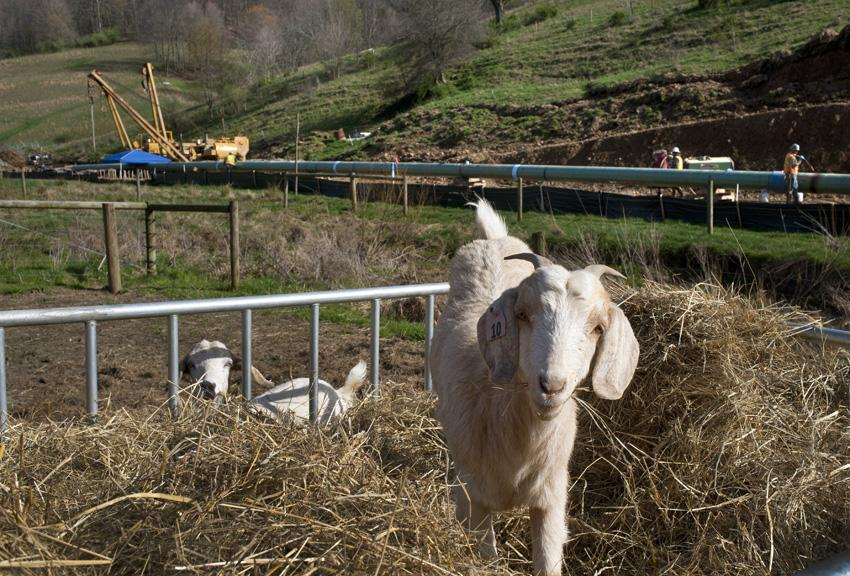Photograph © Martha Rial. Farmer Jeanne Williams is looking forward to having pipeline construction completed on her property so her goats can graze in the fields instead of eating hay in the small barnyard.