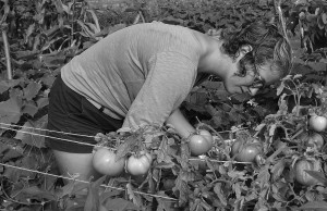 Jessica Schombert, '16, picks tomotoes in the Carrden in the morning on Aug. 28. Because of the ripening schedule of tomatoes, they must be harvested every few days to ensure appropriate ripeness.