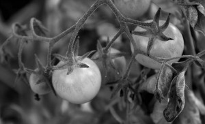 Tomatoes, some of the more fragile crops of the Carrden, are often initially planted in the greenhouse and then acclimated and transplanted outside.