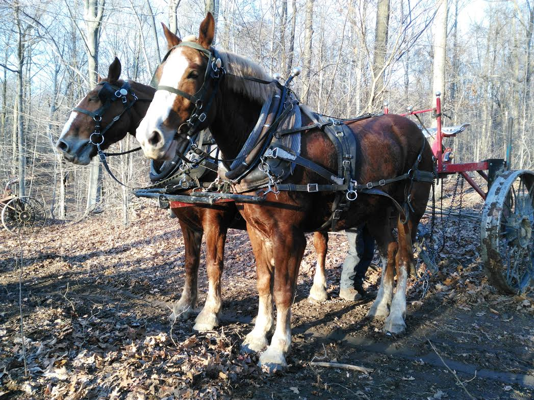 Draft horses drag the trees to landing sites near Baldwin Street Extension. From there, they are taken by semi-trailer truck.