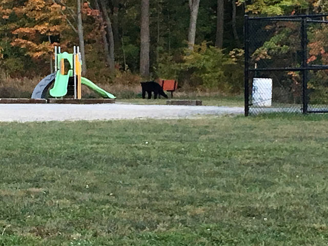 A black bear on campus Tuesday. The bear roams on the HP Way Park playground, near the Allegheny Commons.