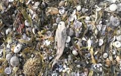 Deceased sea life on the shore of Kamchatka.
