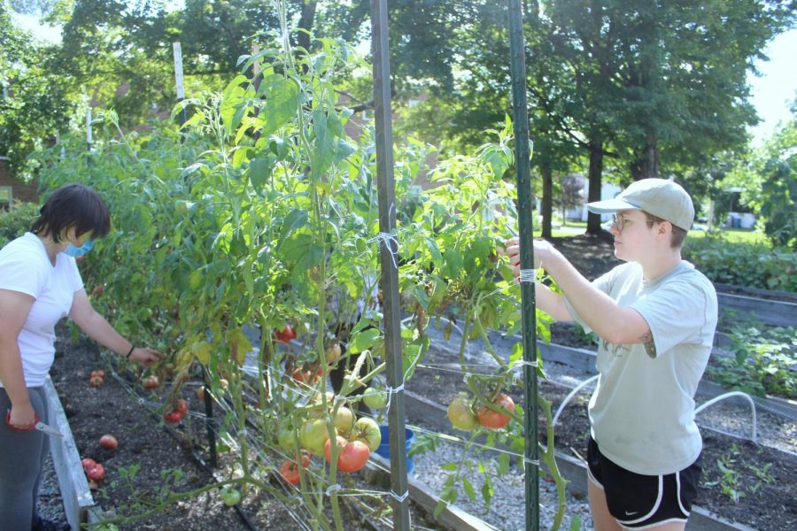 Kate Sosville, '23, (R) leads volunteers in pruning blight from the Carrden's beefsteak tomatoes on Monday, Sept. 6.